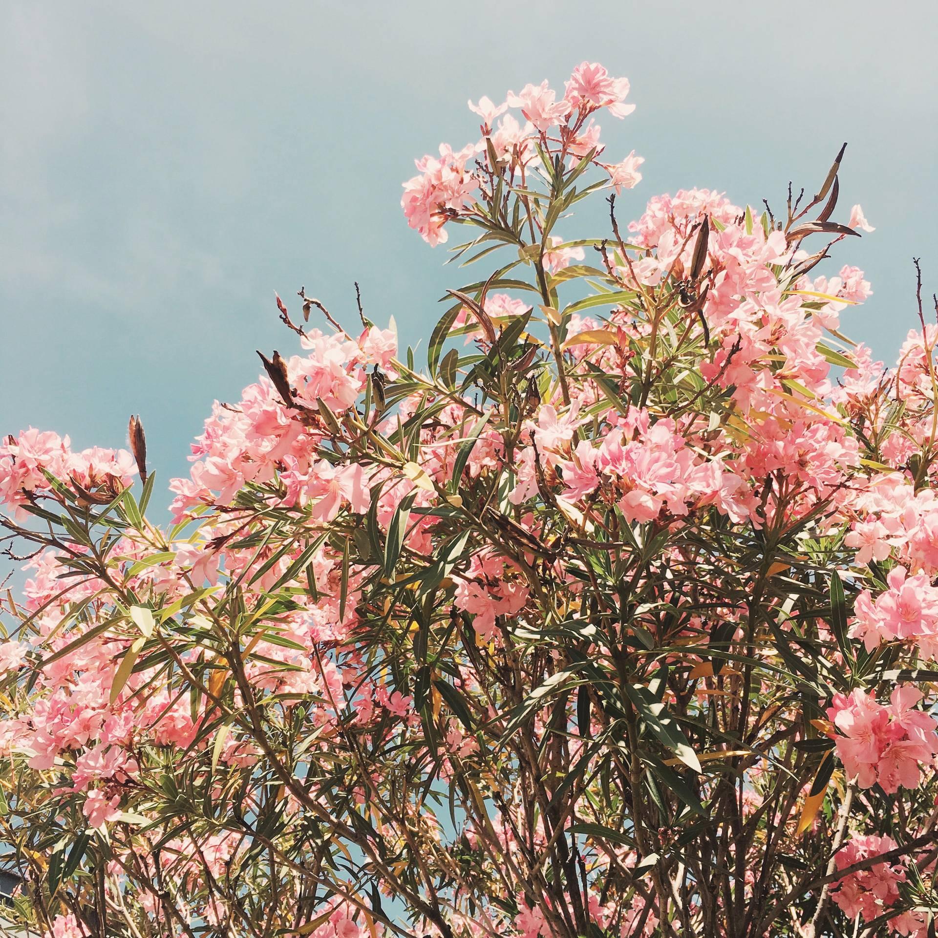 Pink Blooms in June